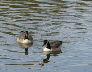 geese-on-water
